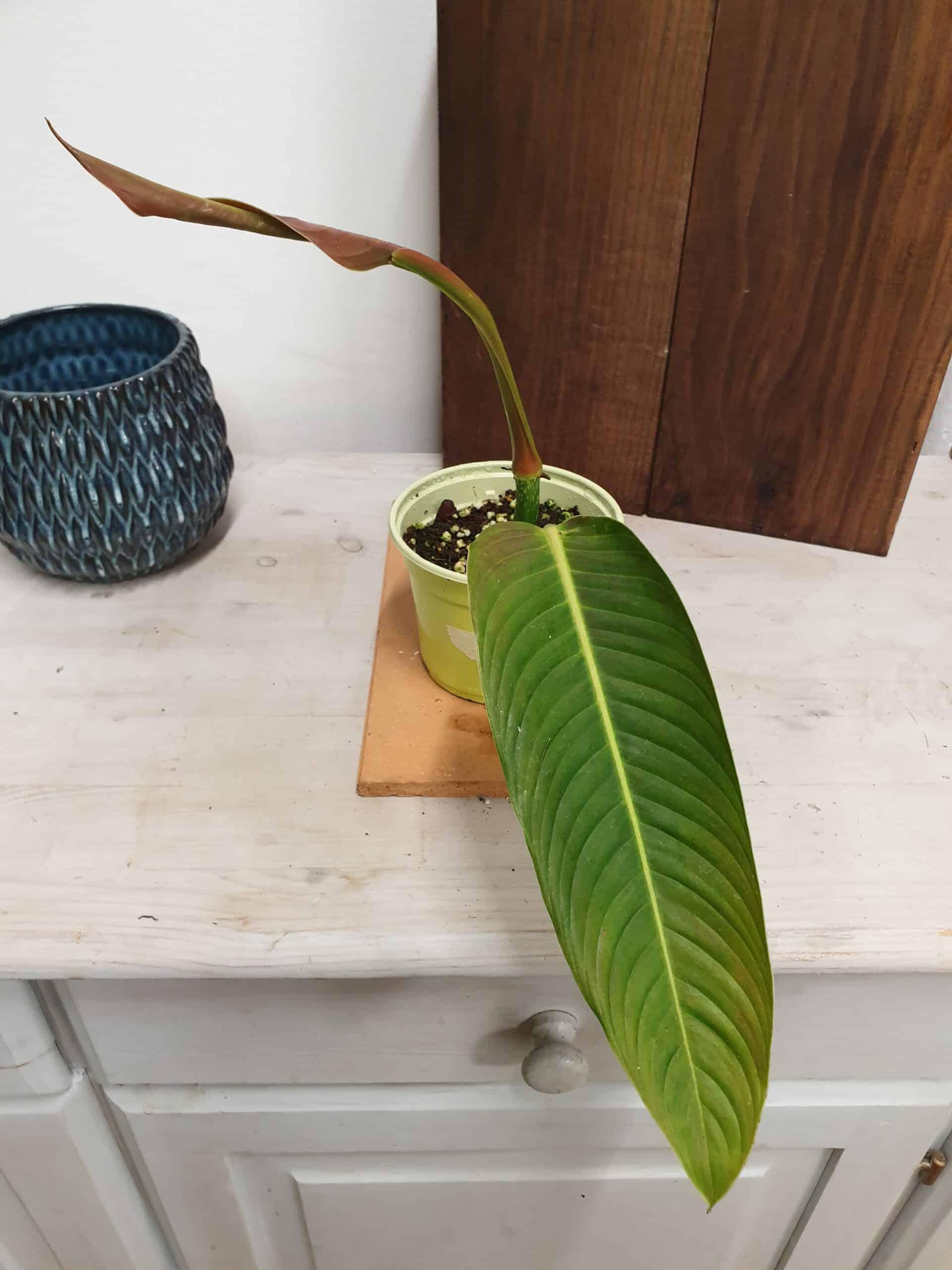 Philodendron Heterocraspedon