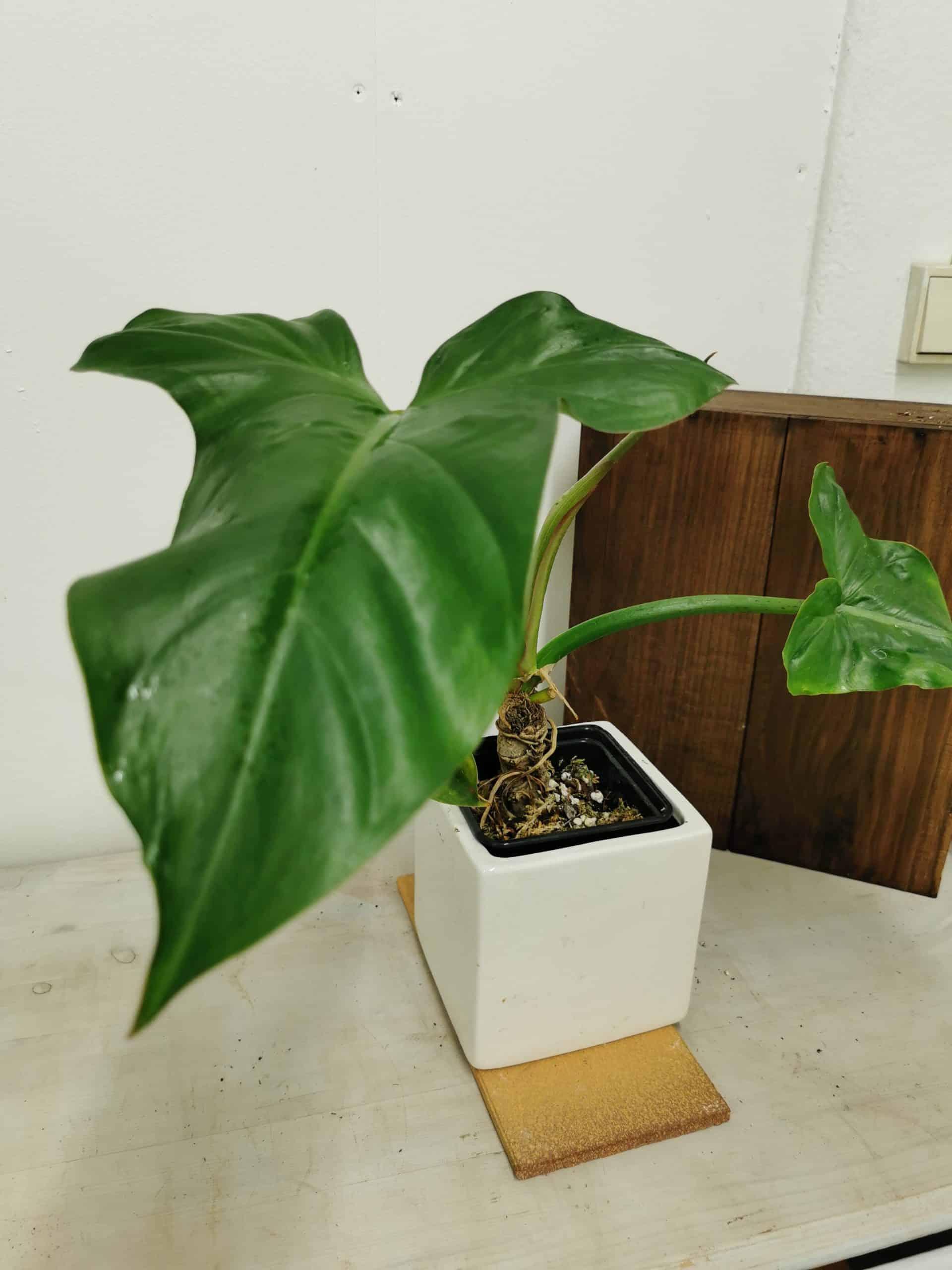 Philodendron sanctamartinense
