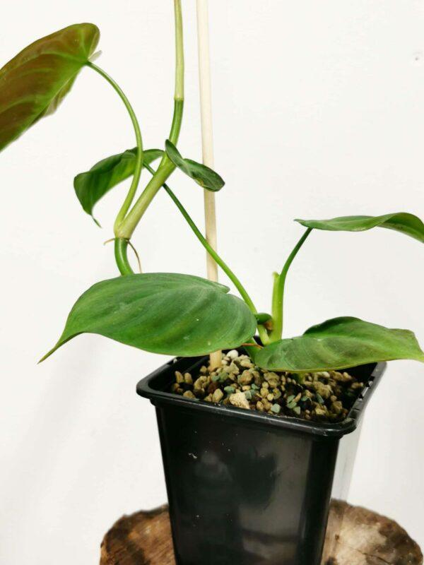 Philodendron camposportuanum