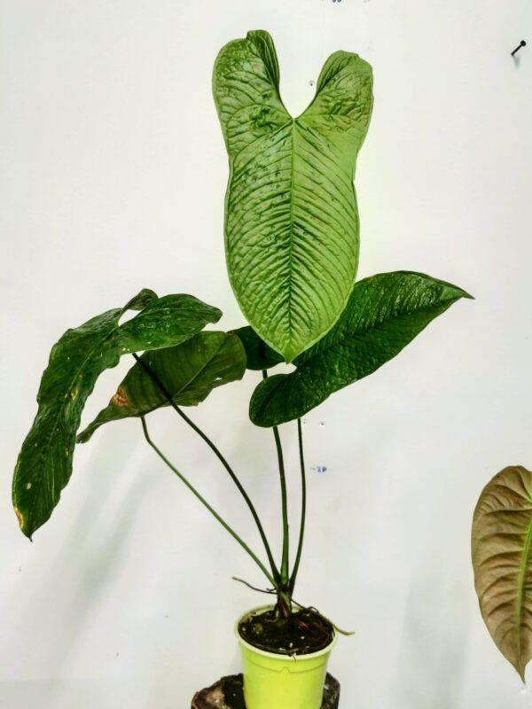 Anthurium - Agryrostachyum