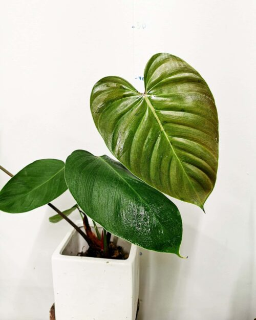 Philodendron Lynamii